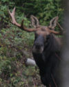 Bull moose, Errol NH