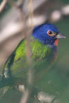 Male painted bunting in our quince bush