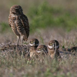 Burrowing owls in Cape Coral, May 2, 2009