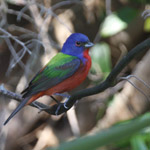 Painted bunting at Little Talbot Island State Park, Jacksonville FL, April 23, 2009