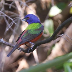 Painted bunting at Little Talbot Island State Park, Jacksonville FL, April 22, 2009